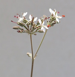 Pelargonium Bulletrap 3