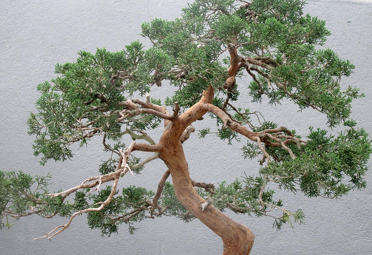 Juniperus chinensis sargentii 13