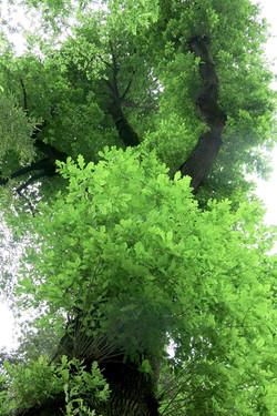 Quercus robur 114