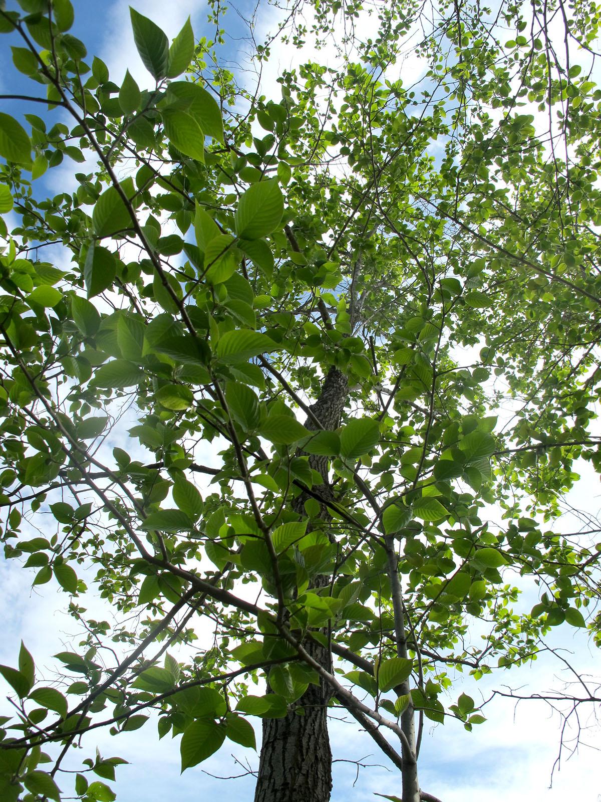 Camptotheca acuminata 2