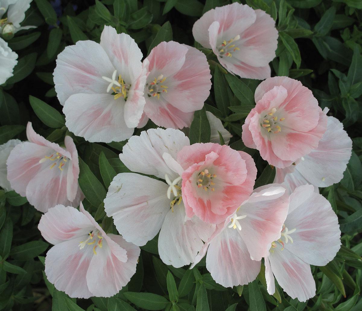 Godetia grandiflora 4