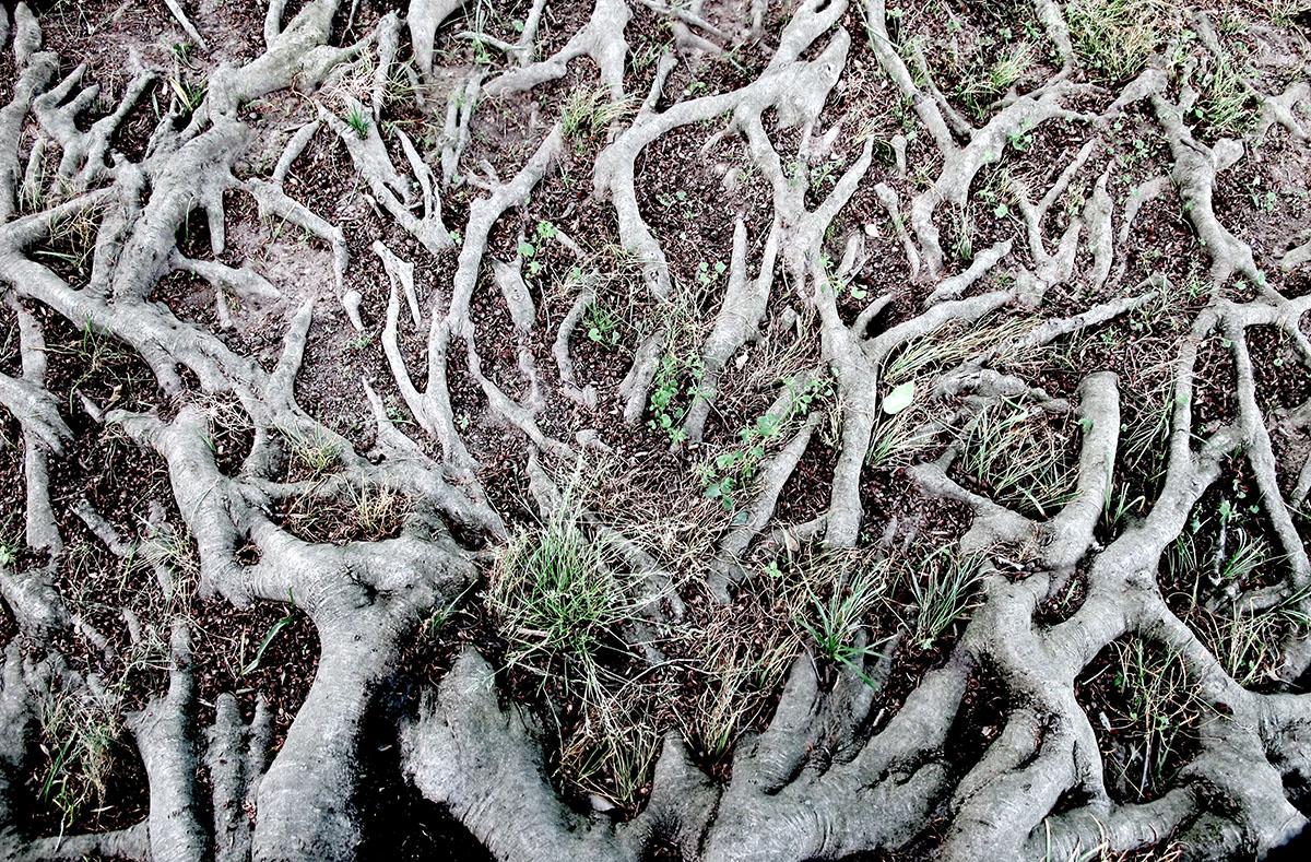 Fagus grandifolia 16