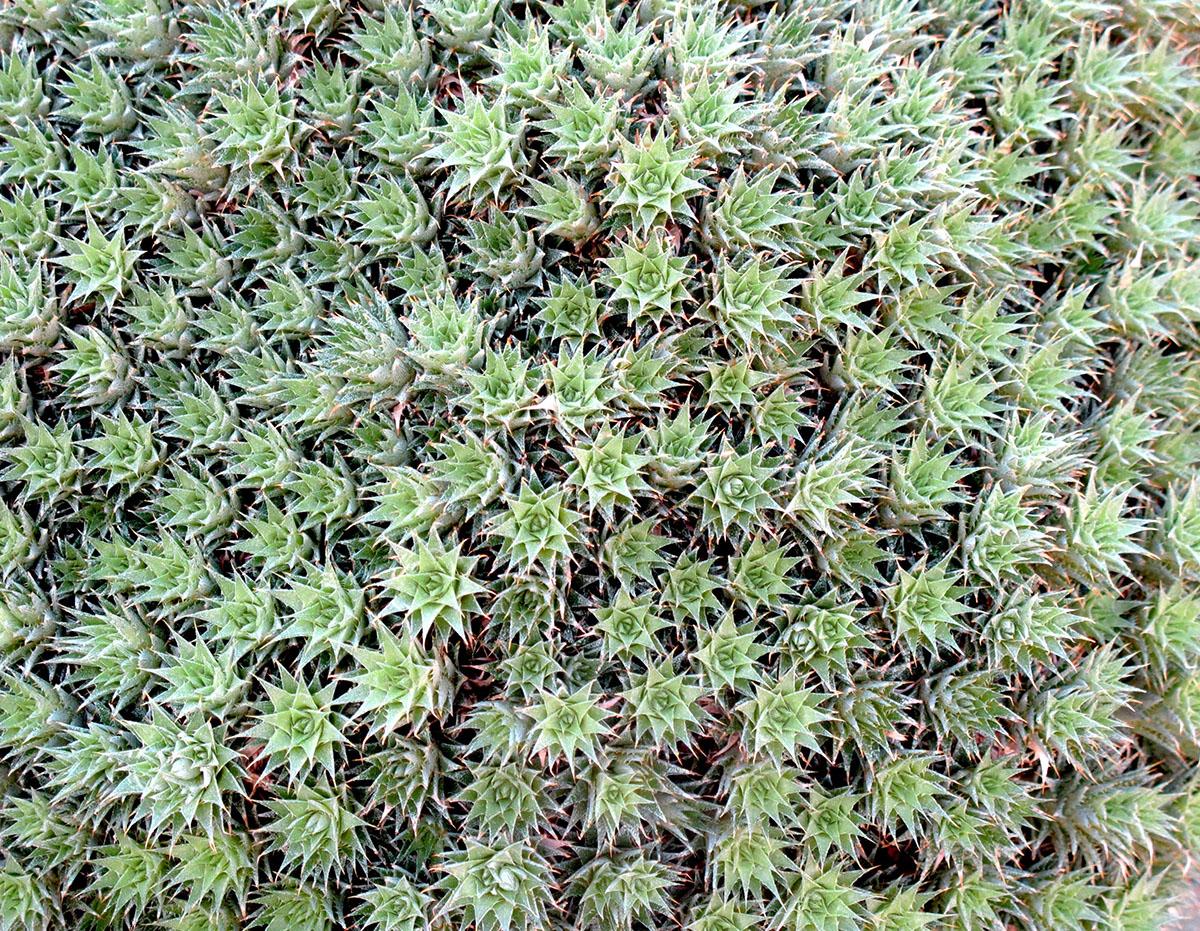 Deuterocohnia brevifolia 3