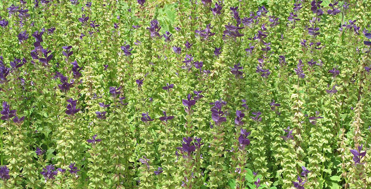 Salvia viridis 4