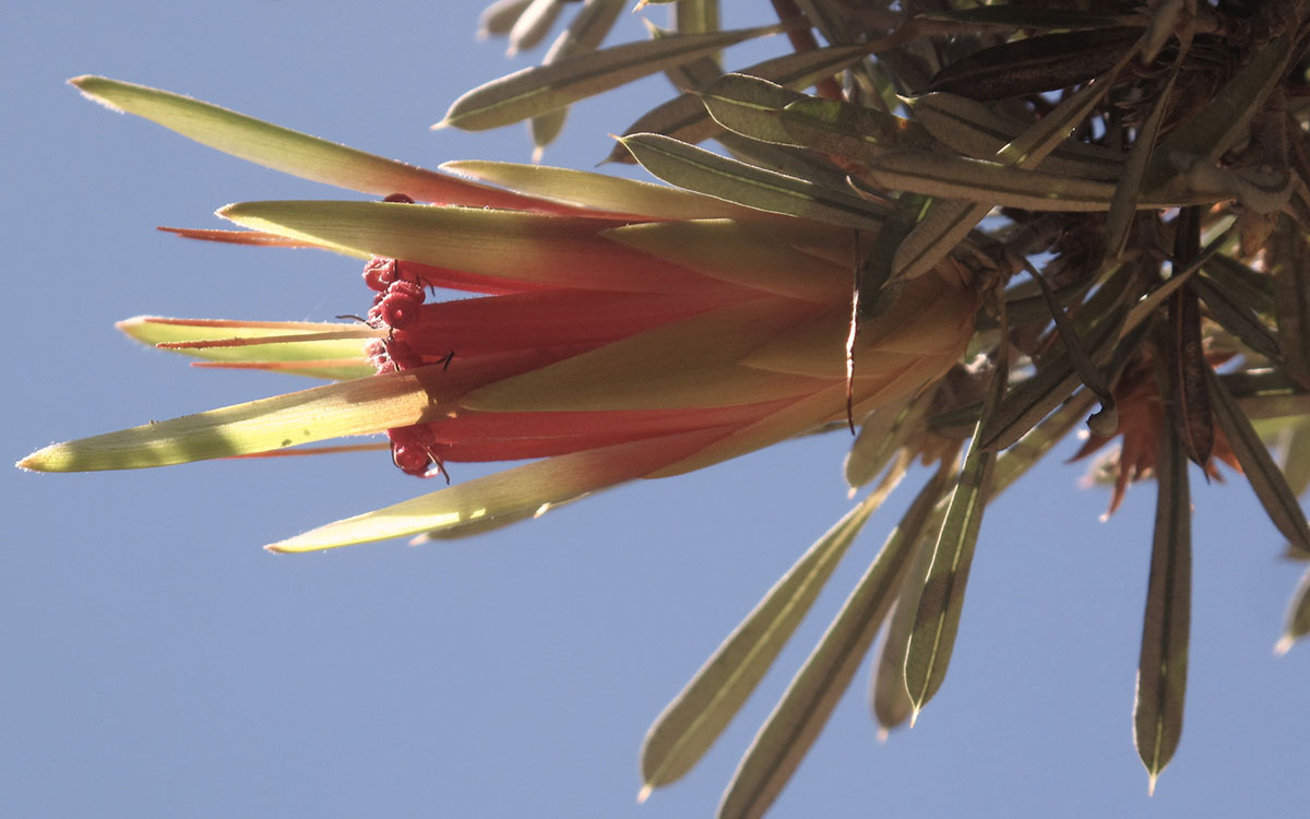 Lambertia formosa 7