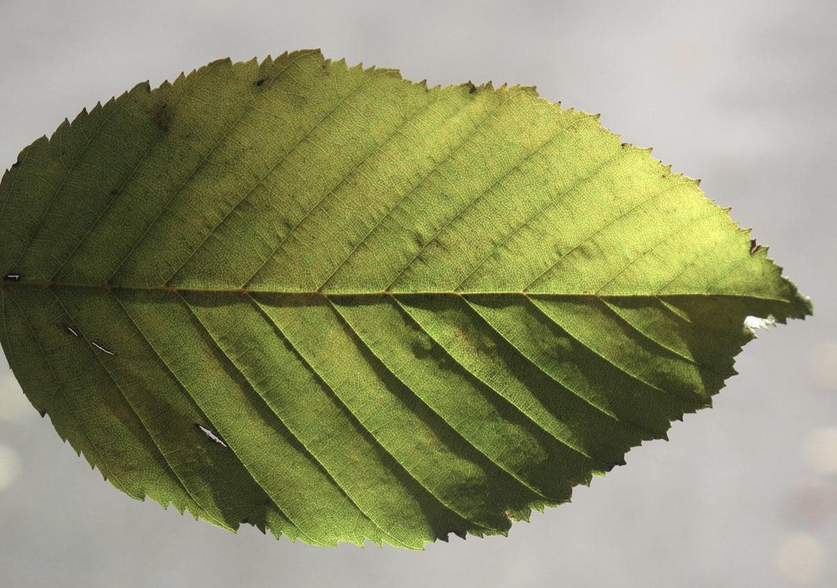 Carpinus betulus 34