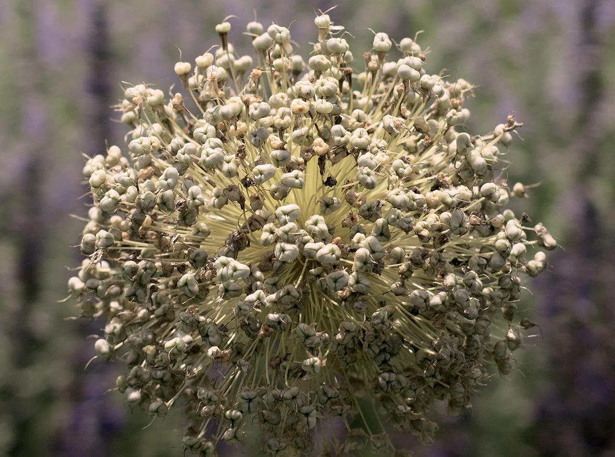 Allium-giganteum-4-