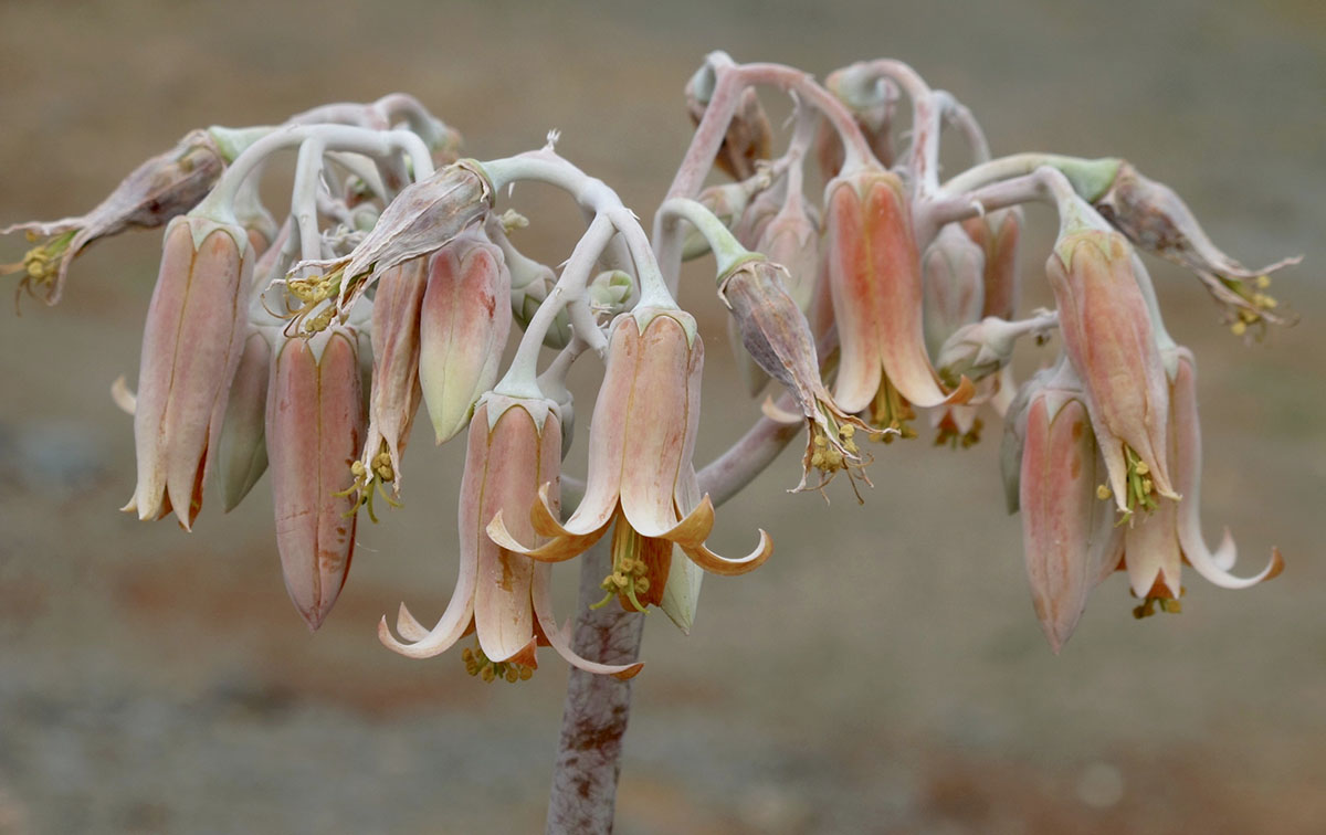 Cotyledon orbiculata 54