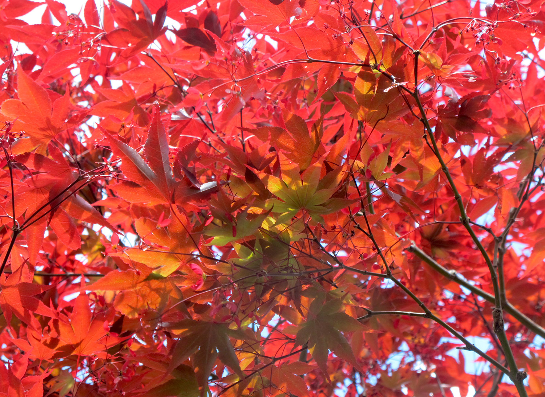 Acer-palmatum-Red-23-