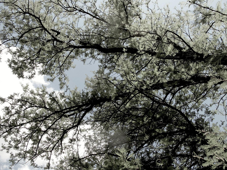 Acacia-hereroensis-9-