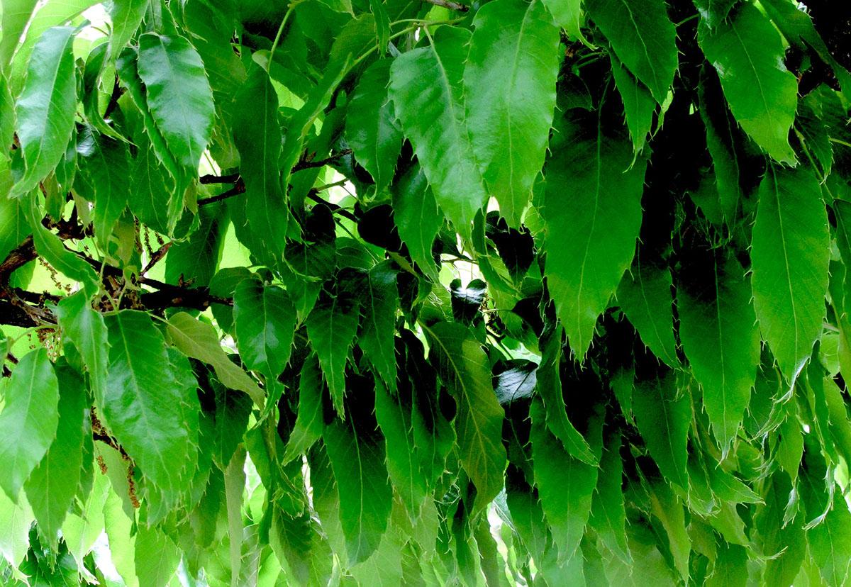 Quercus acutissima 23
