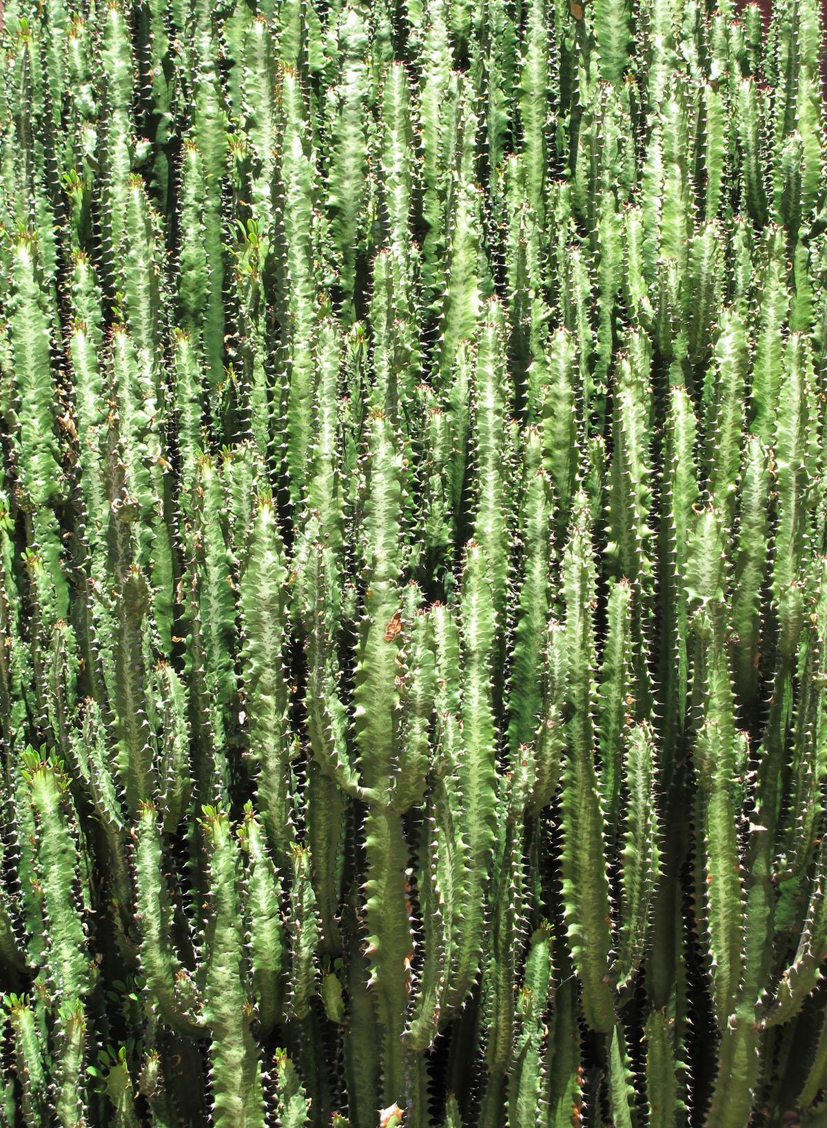 Euphorbia trigona 17