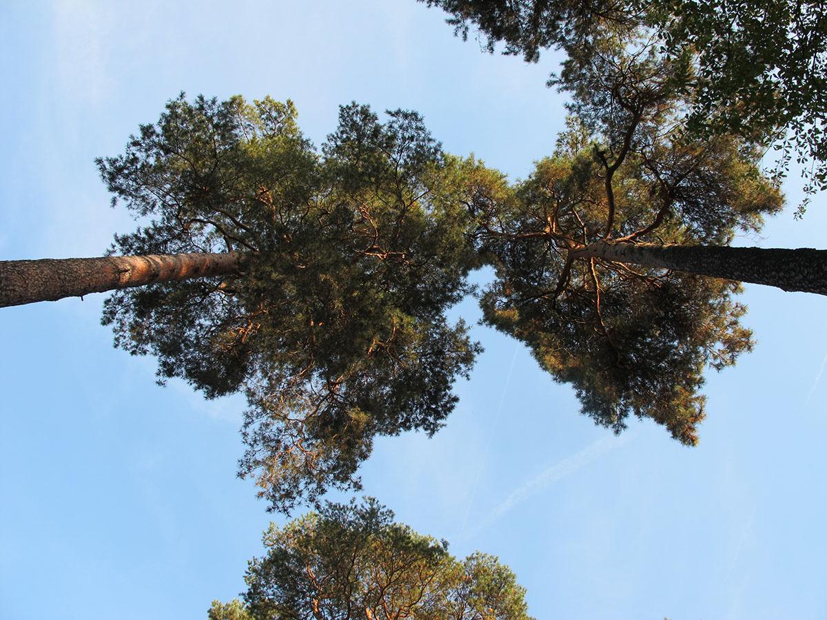Pinus sylvestris 12