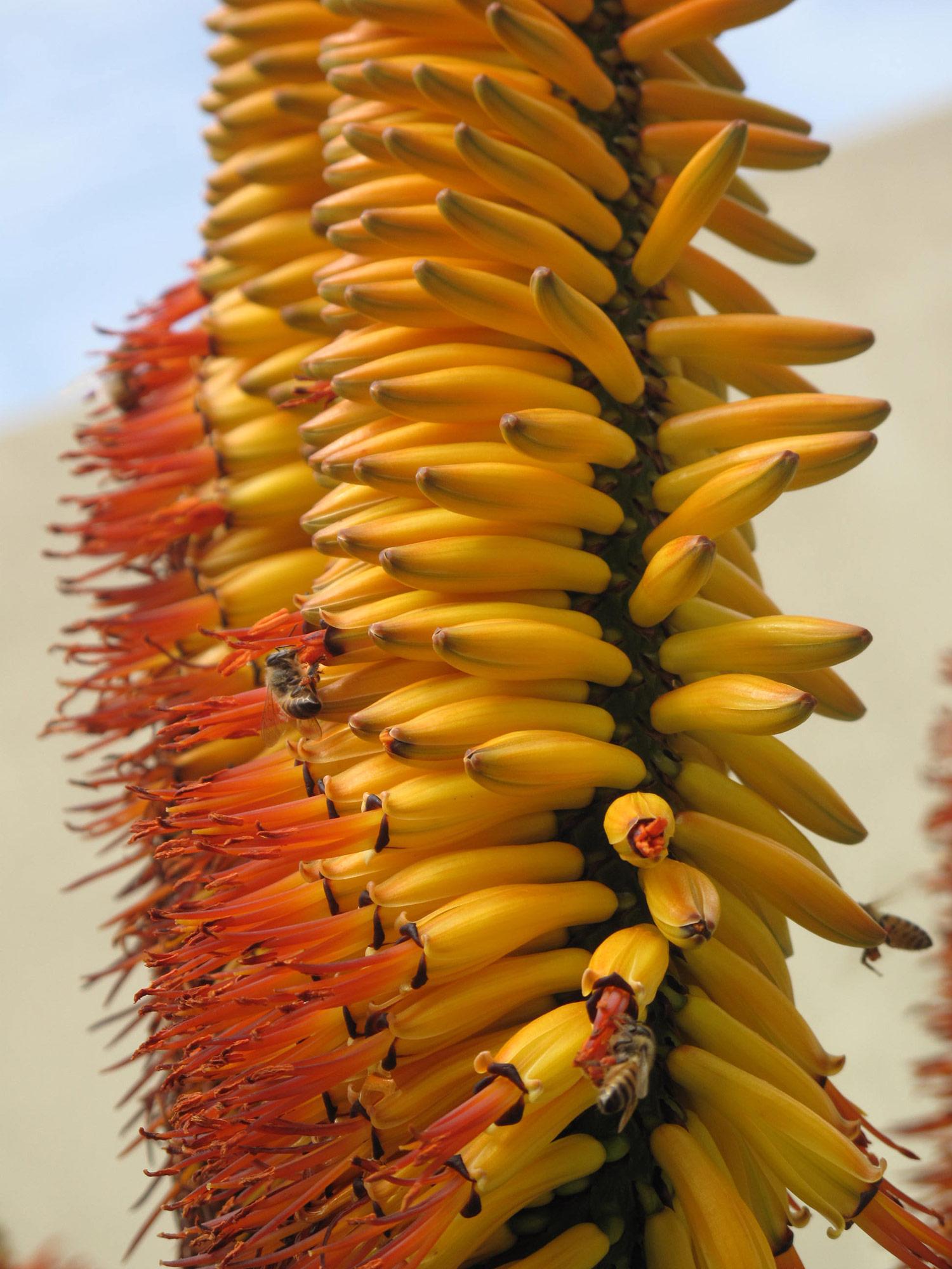 Aloe-marlothii-33-