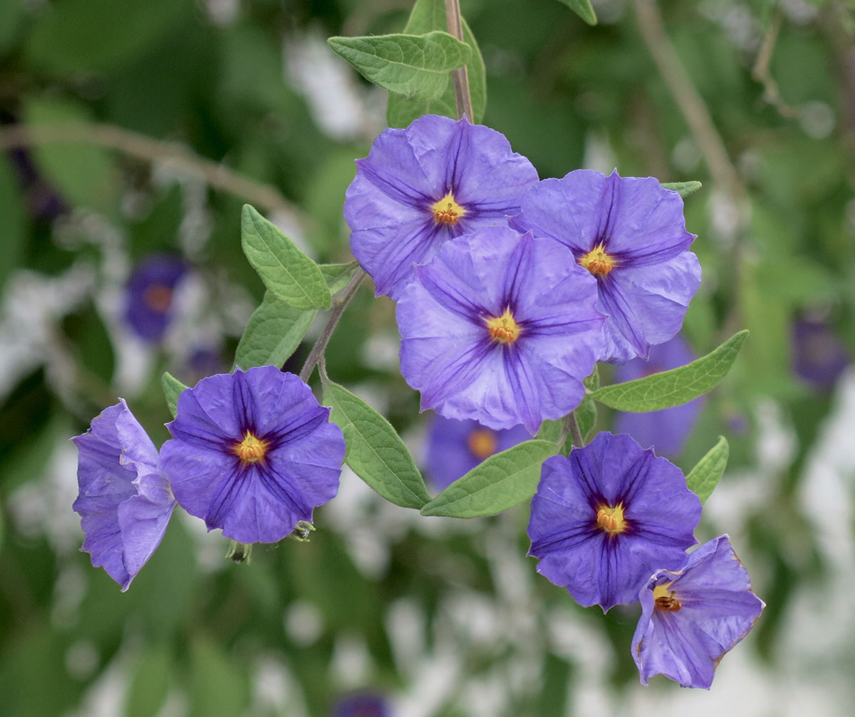 Solanum rantonetti 26