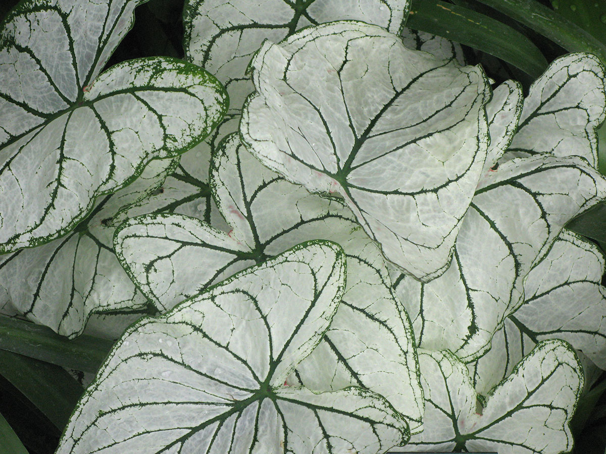 Caladium Junior 2