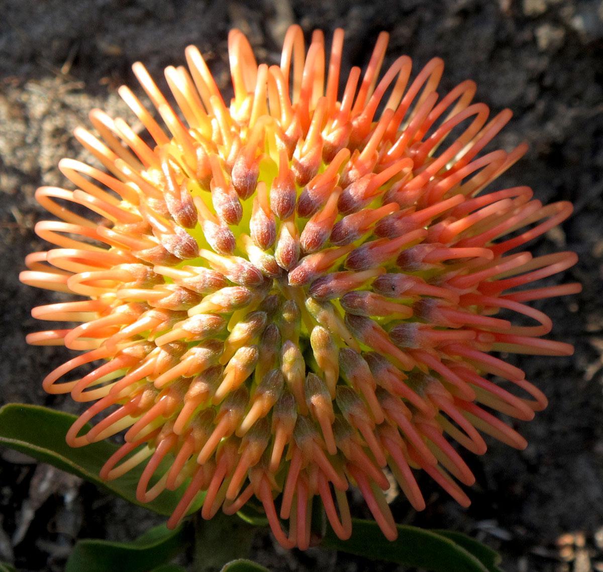 Leucospermum cordifolium 82