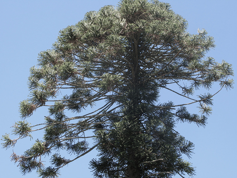 Araucaria-bidwillii-24-