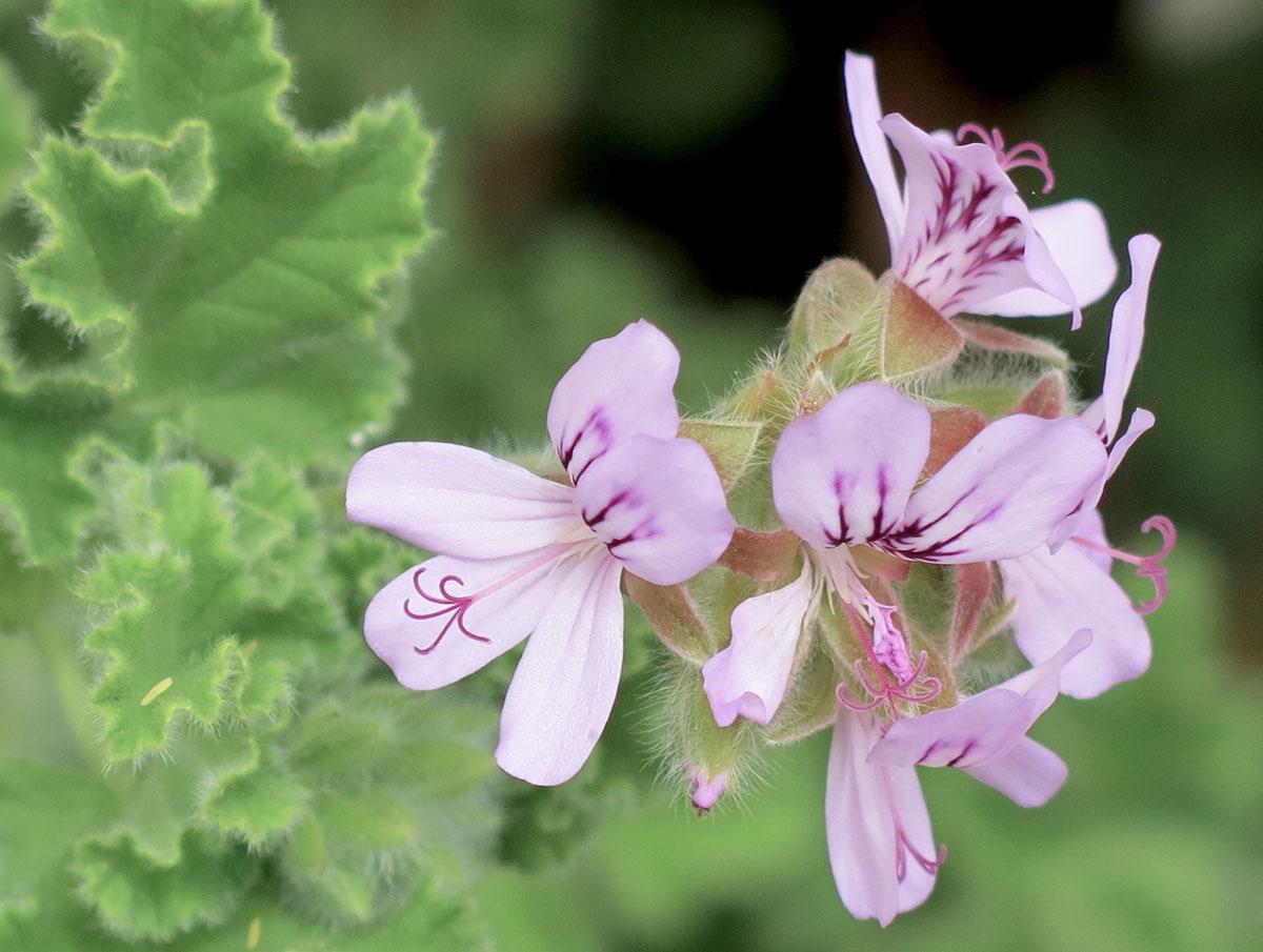Pelargonium capitatum 15 1