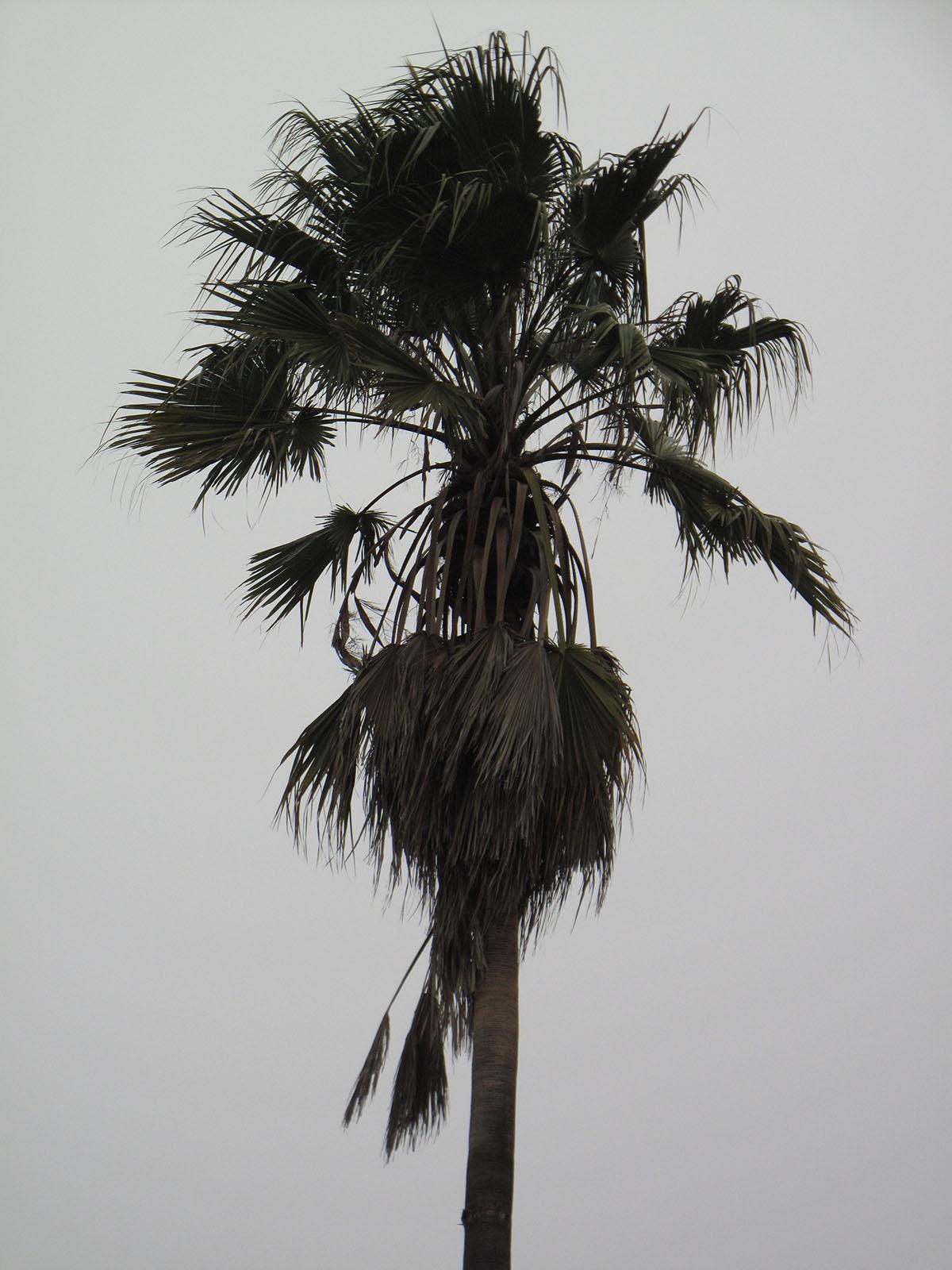 Washingtonia robusta 30