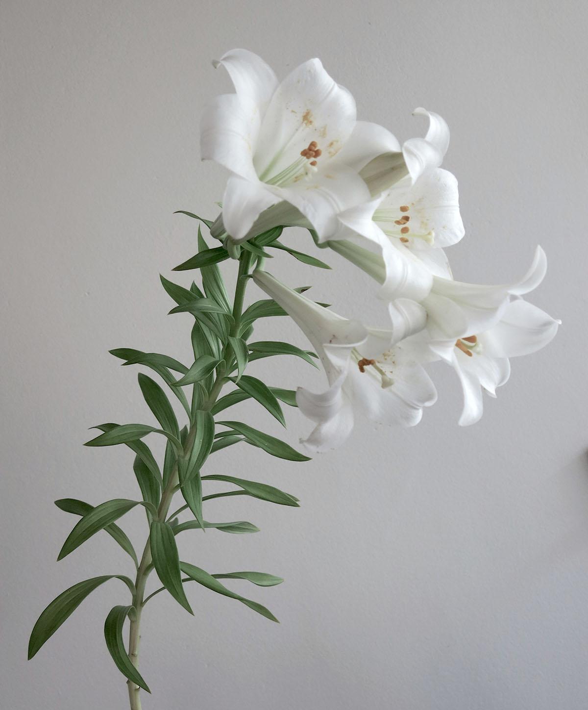 Lilium formosanum 7