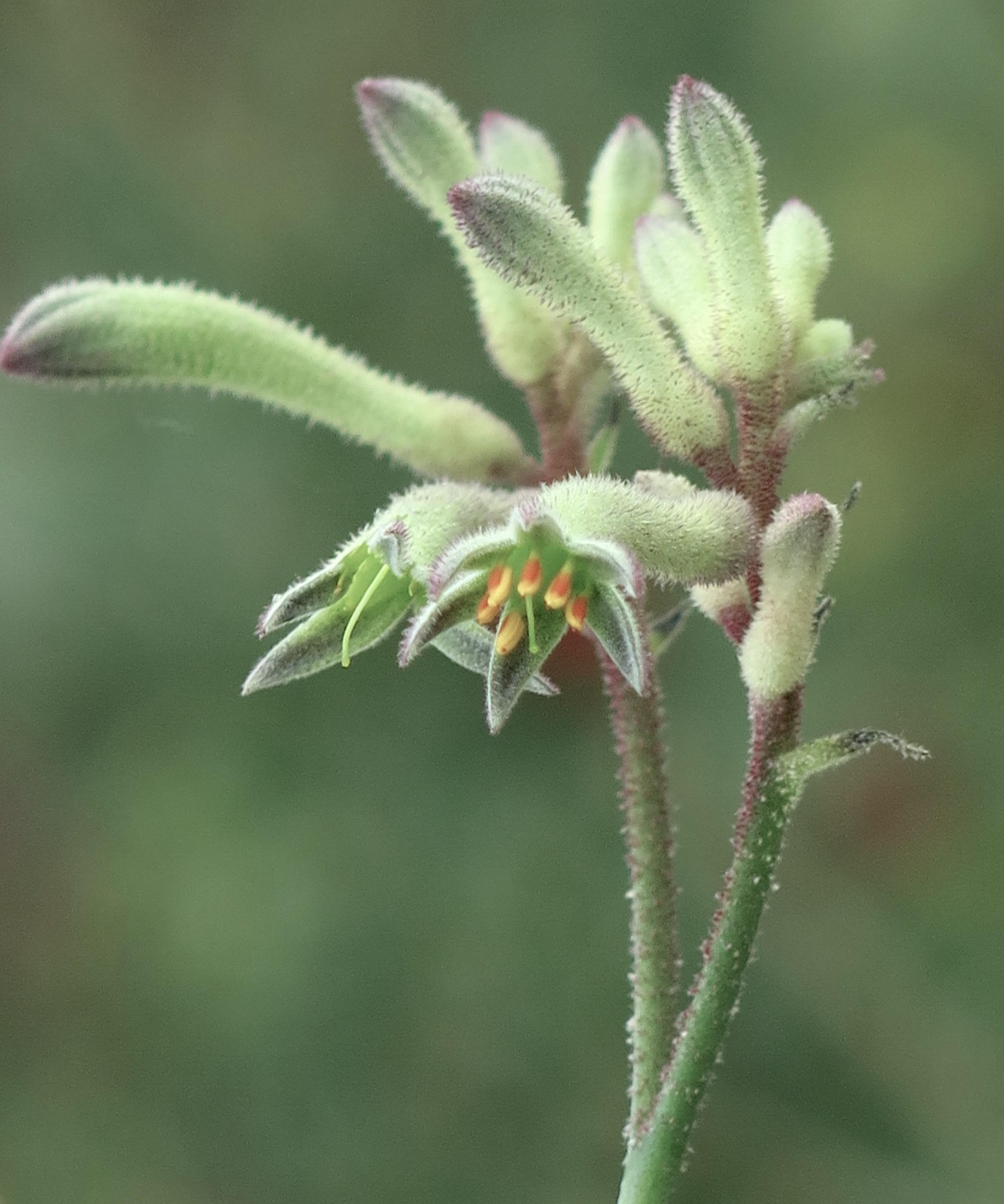 Anigozanthos flavidus 16