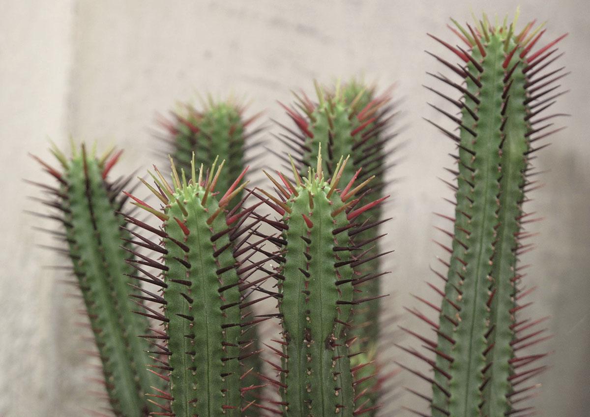 Euphorbia atrispina 5