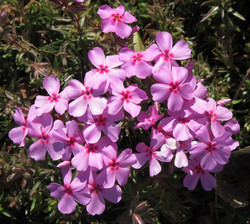 Phlox nivalis Eco Brilliant 2