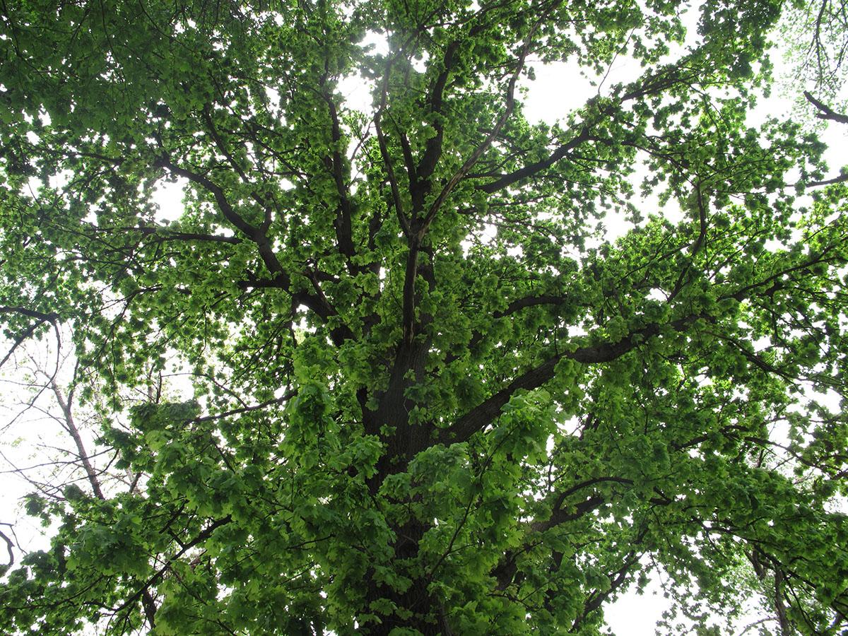 Quercus robur 98