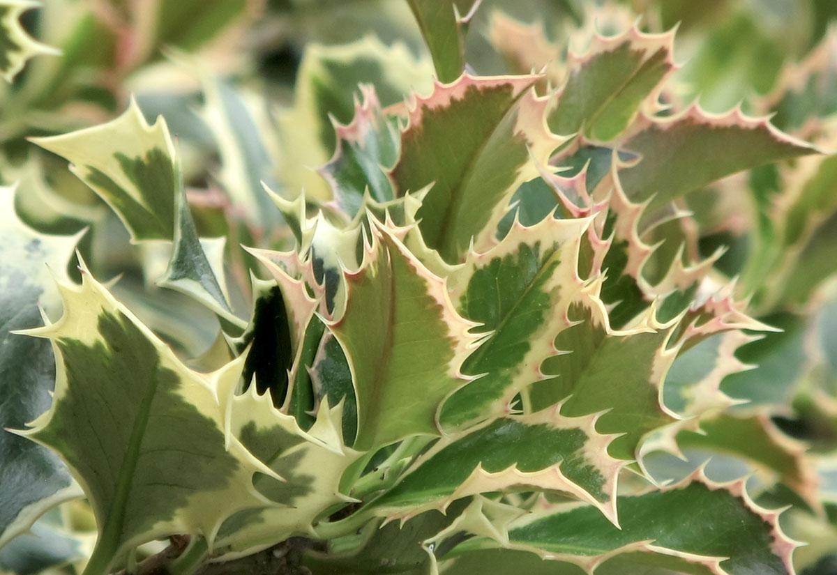 Ilex aquifolium Argentea marginata 3