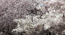 Prunus Yoshino Cherry 1