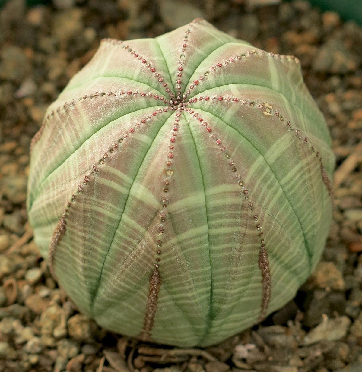 Euphorbia obesa 17