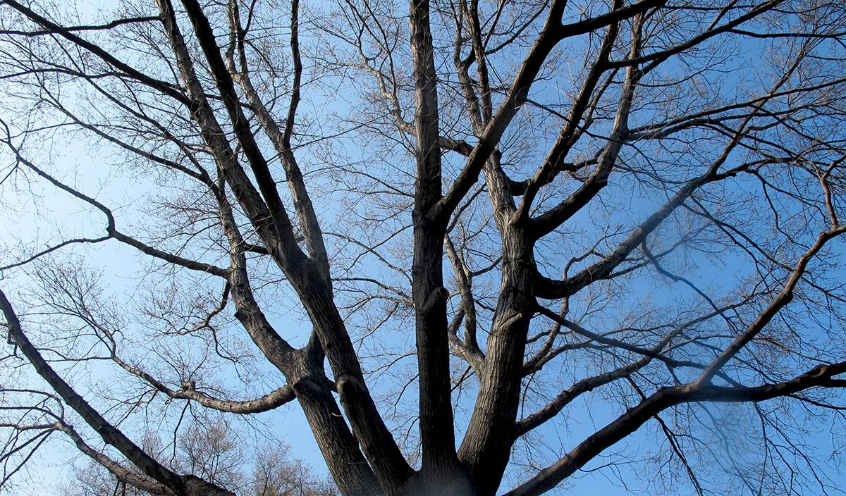 Quercus heterophylla 6