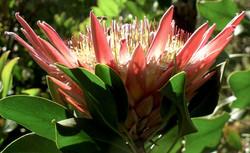 Protea cynaroides 47