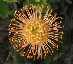 Leucospermum cordifolium 60