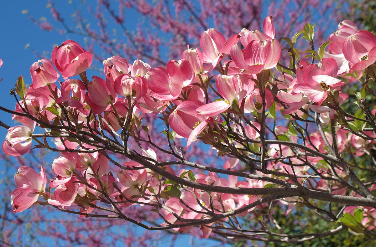 Cornus florida rubra 7