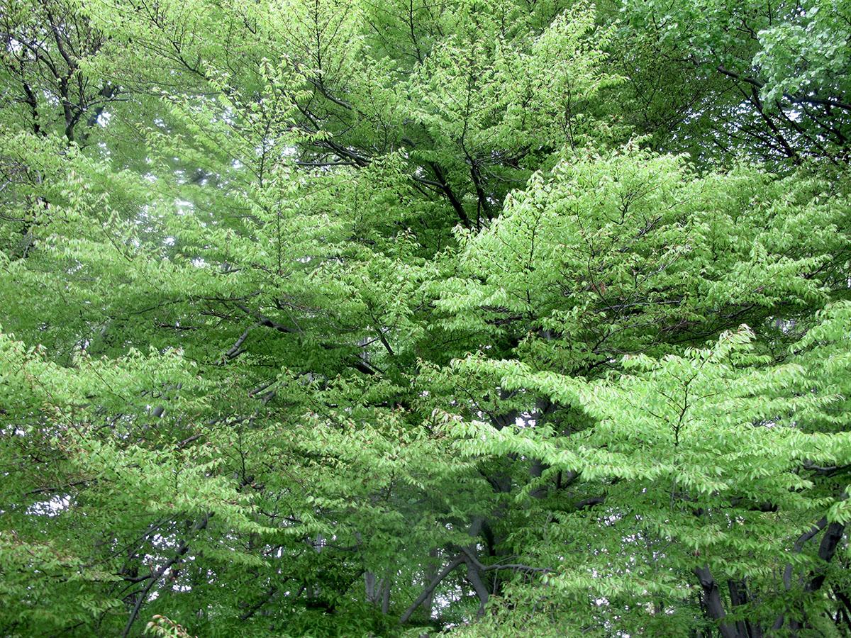 Fagus sylvatica Laciniata 9
