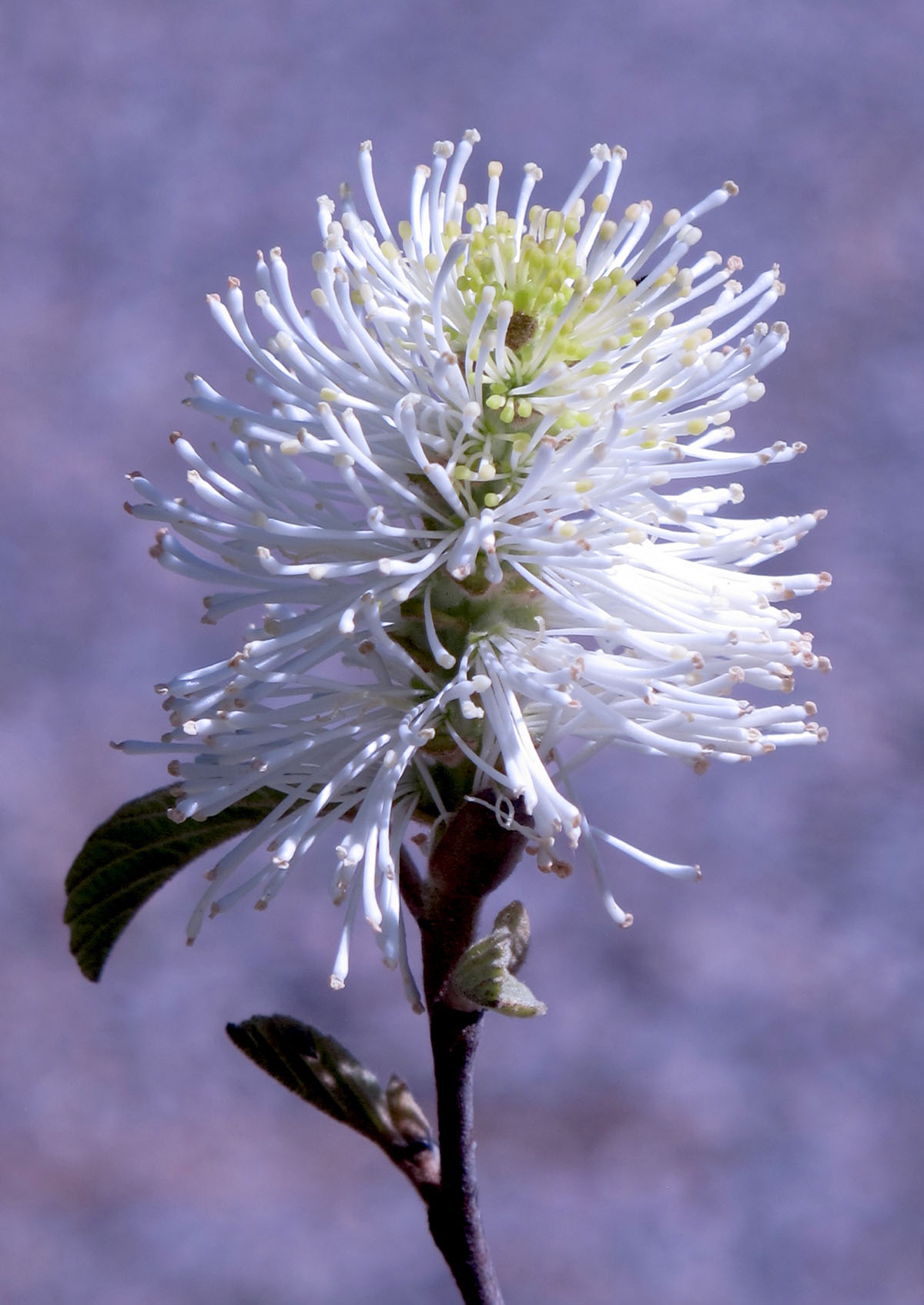 Fothergilla gardenii 9
