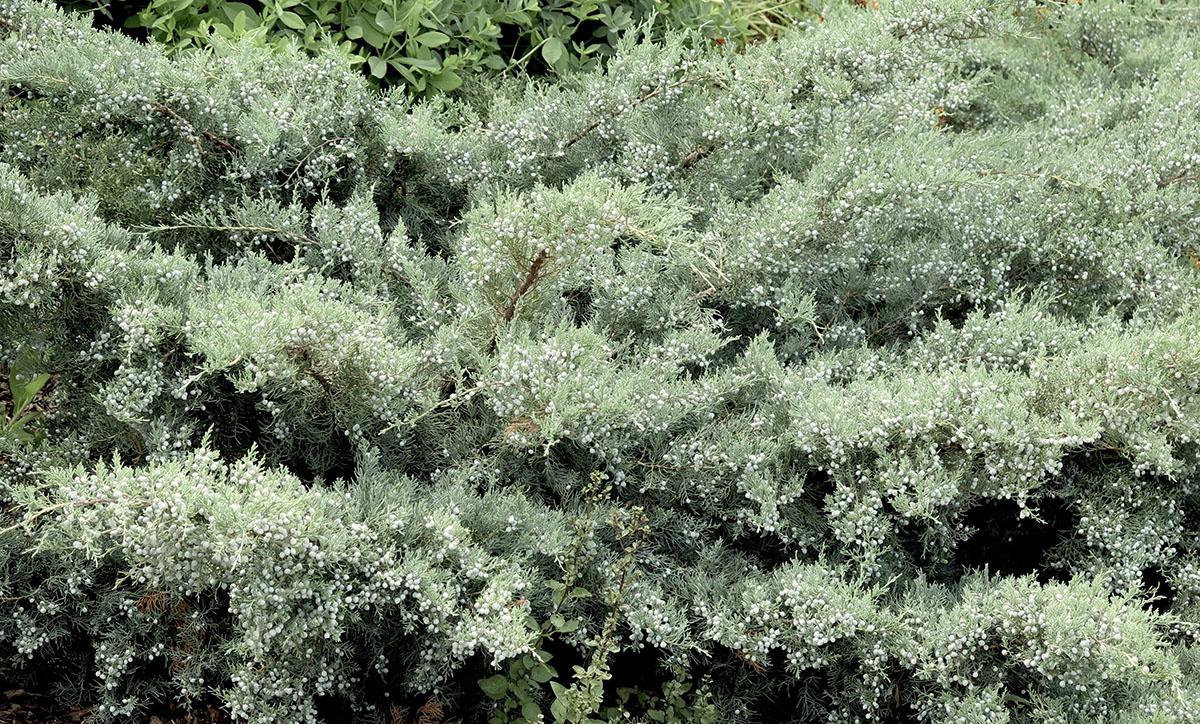 Juniperus virginiana Grey Owl 2