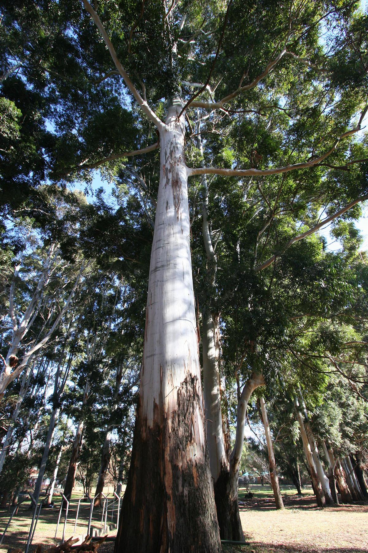 Eucalyptus camaldulensis 22