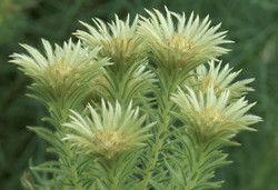 Phylica pubescens 57