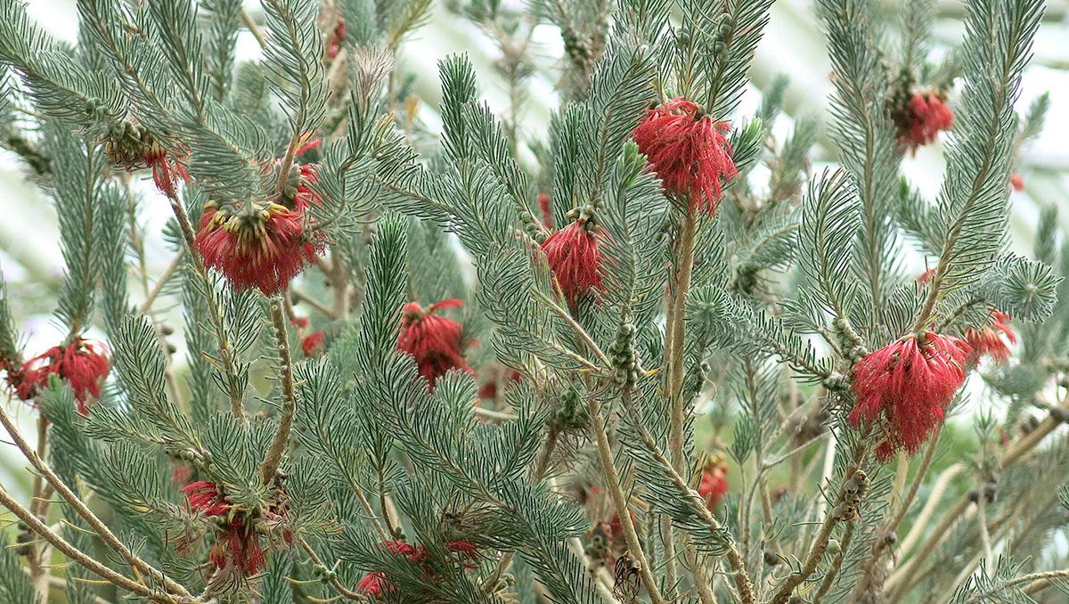 Calothamnus sanguineus 47