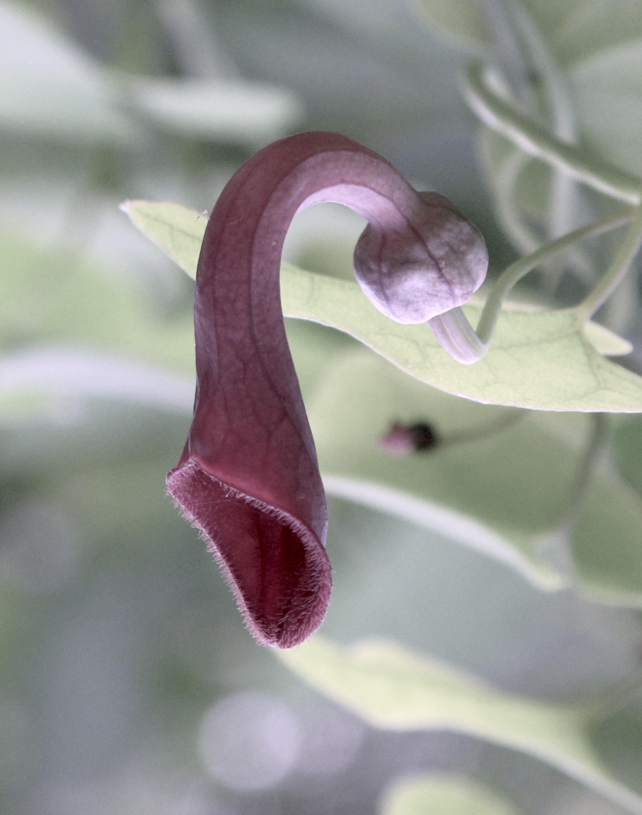 Aristolochia baetica 8