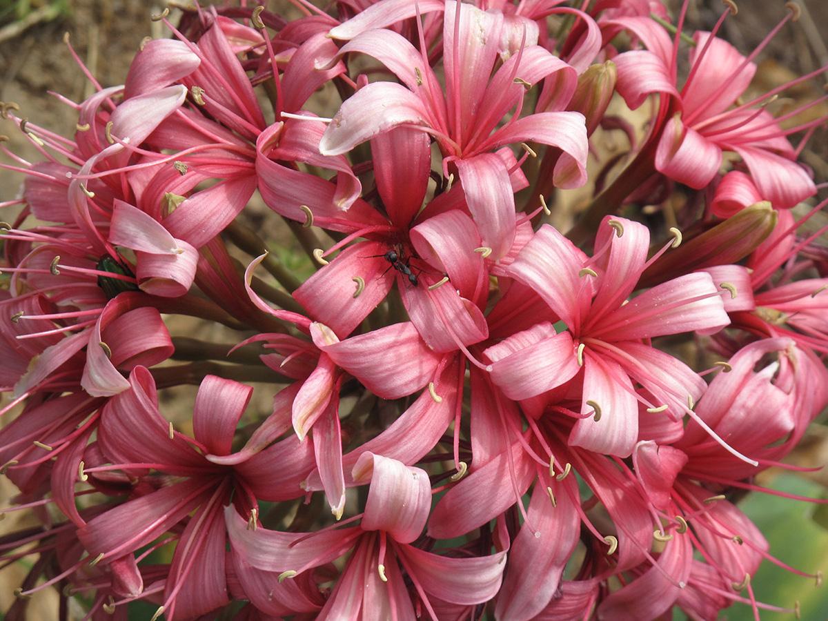 Ammocharis-coranica-39-