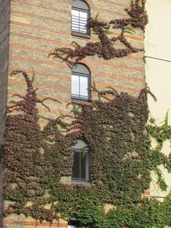 Parthenocissus tricuspidata 27
