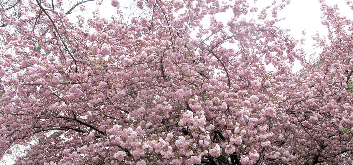 Prunus triloba 22