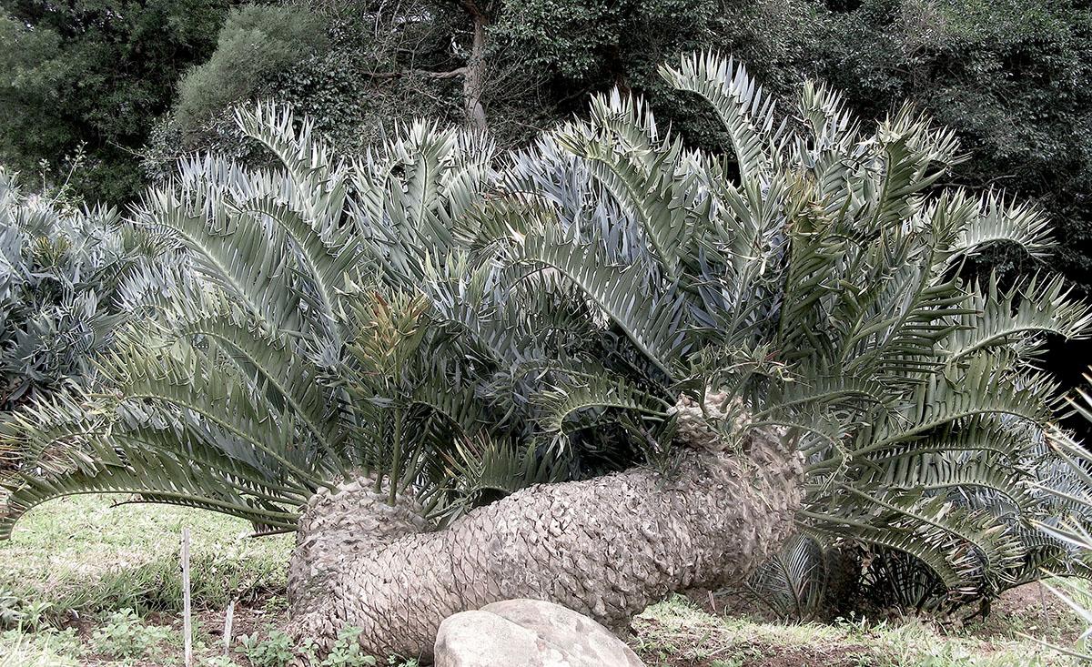 Encephalartos trispinosus 22