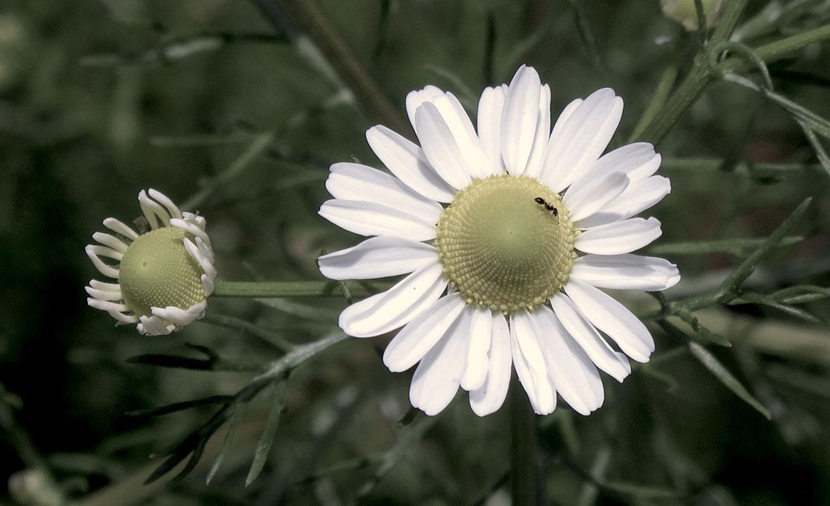 Chamaemelum nobile 5