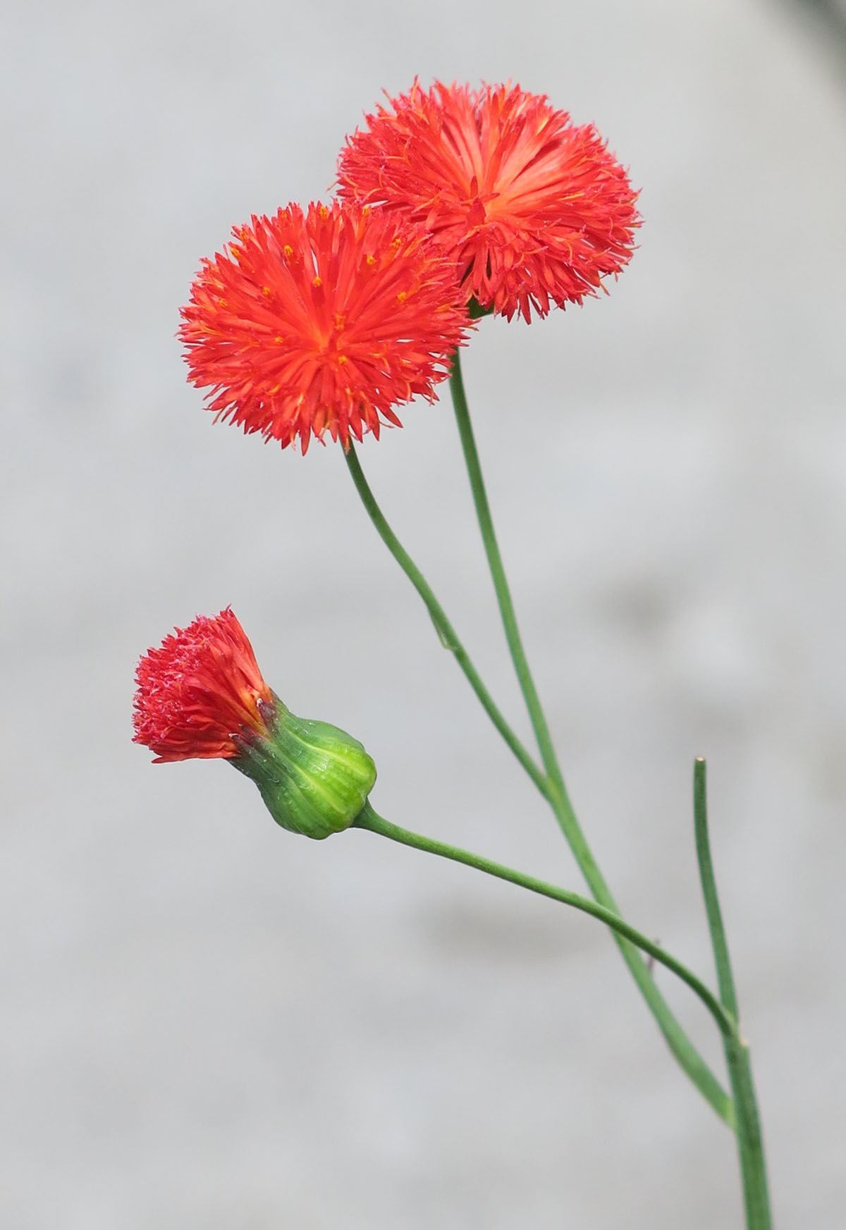 Emilia coccinea 'Scarlet Magic' 3