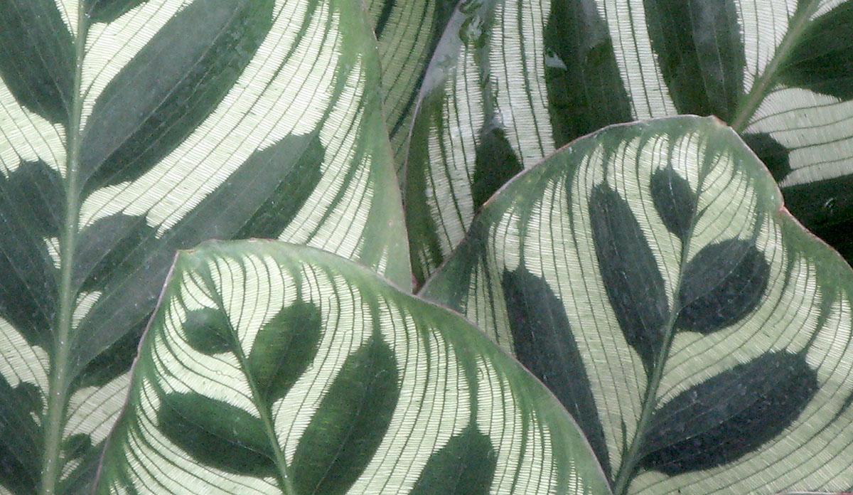 Calathea makoyana 4
